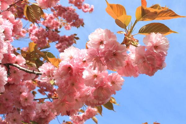 八重桜 ふわふわ