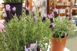 170410seeds_lavender