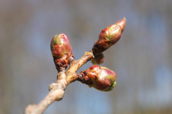 八重桜 つぼみ