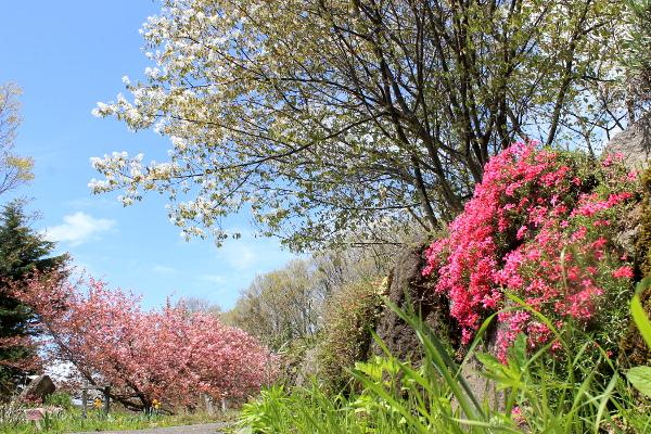 ジューンベリー 桜