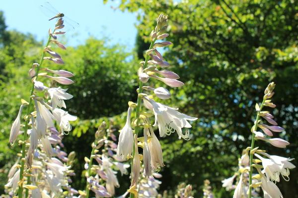 ギボウシ花