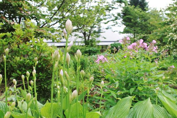 ギボウシ 花