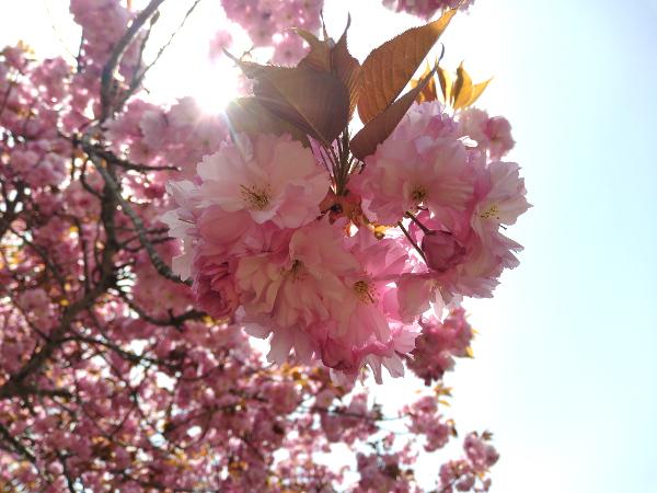 八重桜 フリル